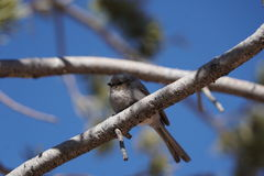 L'uccello di Bushtit Fotografie Stock