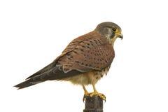 L'uccello di prega Immagini Stock