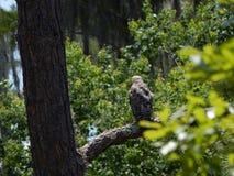 L'uccello di prega la sorveglianza del suo nido Immagini Stock Libere da Diritti