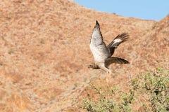 L'uccello di prega in Namibia Immagine Stock Libera da Diritti