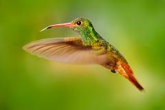 L'uccello di volo, colibrì Rufous-ha munito il colibrì di coda Colibrì con chiaro fondo verde nell'Ecuador Colibrì nella natura Fotografie Stock Libere da Diritti