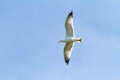 L'uccello di volo nel cielo blu fotografia stock libera da diritti