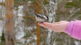 L'uccello in mano del ` s delle donne mangia i semi stock footage