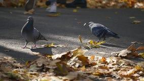 L'uccello nel parco di autunno, piccione intorno a giallo caduto di autunno va stock footage