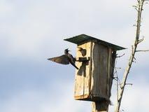 L'uccello nero è uno storno vola per alimentare i loro pulcini al hous Fotografia Stock Libera da Diritti