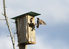 L'uccello nero è uno storno vola per alimentare i loro pulcini al hous Fotografia Stock