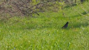 L'uccello nero cammina su erba verde stock footage