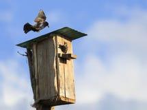 L'uccello nero dello storno vola per alimentare i loro pulcini alla casa nella t Fotografia Stock Libera da Diritti