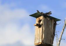 L'uccello nero dello storno vola per alimentare i loro pulcini alla casa nella t Fotografia Stock