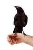 L'uccello nero si siede su una mano Fotografia Stock