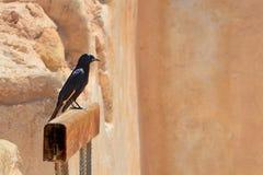 L'uccello nero solo con le ali gialle si siede sul bastone di legno contro fondo delle pietre ` S Starling Grackle di Tristram su immagine stock libera da diritti