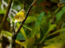 L'uccello orientale dell'bianco-occhio Fotografia Stock Libera da Diritti