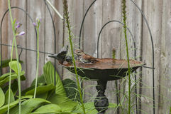 L'uccello ottiene un bagno Fotografia Stock