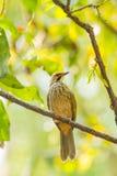 L'uccello Paglia-intestato di Bulbul Fotografie Stock