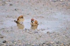 L'uccello prende un bagno Immagini Stock