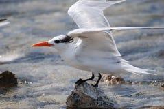 L'uccello reale della sterna con il suo traversa esteso volando su una roccia Immagine Stock