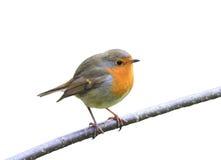 L'uccello rosso Robin che si siede su un ramo nel parco su un bianco ha isolato il fondo Fotografie Stock