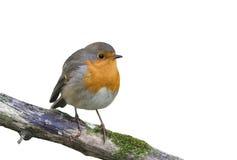 L'uccello rosso Robin che si siede su un ramo nel parco su un bianco ha isolato il fondo Immagini Stock Libere da Diritti