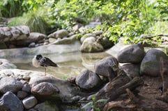 L'uccello Ruff sta dormendo vicino allo stagno Fotografia Stock