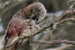 L'uccello selvaggio indigeno della Nuova Zelanda Kaka si pavoneggia le sue piume sul ramo dell'tè-albero Fotografia Stock Libera da Diritti