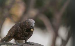 L'uccello selvaggio splendido di Kaka prova un certo cereale nel nostro cortile Immagini Stock Libere da Diritti