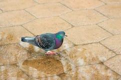 L'uccello si è tuffato passeggiate attraverso le pozze nel parco Fotografie Stock Libere da Diritti