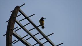 L'uccello si appollaia sopra l'antenna della TV Fotografie Stock Libere da Diritti