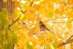 L'uccello sull'incandescenza di giallo della foglia di caduta dell'albero fotografia stock libera da diritti