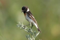 L'uccello sull'salvia-spazzola Immagine Stock