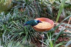L'uccello tropicale esotico che mangia con l'alimento accanto alla giungla pianta e va Immagini Stock