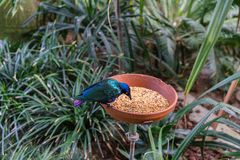 L'uccello tropicale esotico che mangia con l'alimento accanto alla giungla pianta e va Fotografia Stock Libera da Diritti