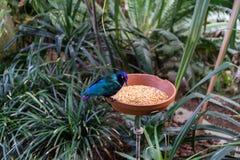 L'uccello tropicale esotico che mangia con l'alimento accanto alla giungla pianta e va Immagini Stock Libere da Diritti