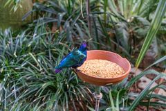 L'uccello tropicale esotico che mangia con l'alimento accanto alla giungla pianta e va Fotografie Stock Libere da Diritti