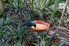 L'uccello tropicale esotico che mangia con l'alimento accanto alla giungla pianta e va Fotografia Stock