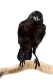 L'uccello un corvo Immagini Stock Libere da Diritti