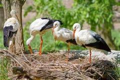 L'uccello una famiglia delle cicogne costruisce un nido Fotografie Stock Libere da Diritti