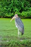 L'uccello uno del marabù sta su Fotografie Stock Libere da Diritti