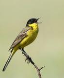 L'uccello variopinto di canto in primavera Fotografia Stock Libera da Diritti
