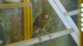 L'uccello verde e marrone si siede sulla pertica e canta allegro stock footage