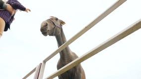 l'Ukraine, Kiev VDNH 10 27 18 une petite fille est montré un vrai cheval Mouvement lent Plan rapproché banque de vidéos