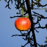 L'ultima mela in autunno Fotografia Stock Libera da Diritti