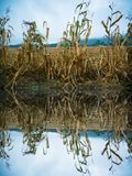 L'ultimo cereale stacca sul bordo del campo raccolto Immagine Stock Libera da Diritti
