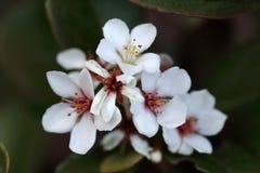 L'umbellata de Rhaphiolepis est un arbuste à feuilles persistantes croissant compact avec de belles fleurs blanches Image stock