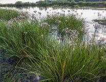 L'umbellatus de Butomus fleurit sur un fond de l'eau et d'herbe Photo stock