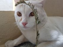 L'umore del gatto osserva il gatto bianco Fotografia Stock Libera da Diritti