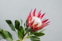 L'un grand Roi Protea de fleur Se développe en Afrique du Sud Fond gris photographie stock libre de droits