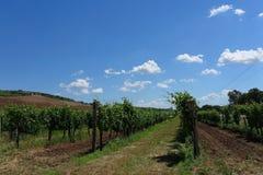 L'Ungheria - fondo delle vigne con le vigne Tokaj Immagini Stock