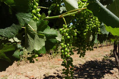 L'Ungheria - mazzi di acini d'uva bianchi Tokaj Fotografia Stock