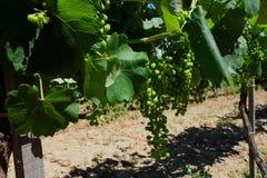 L'Ungheria - mazzi di acini d'uva bianchi Tokaj Immagine Stock