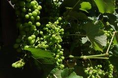 L'Ungheria - mazzi di acini d'uva bianchi Tokaj Fotografie Stock